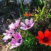 Anemone pavonina clump at the nursery