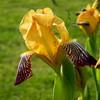 Iris unknown hybrid