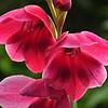Gladiolus papillio ruby