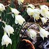 Narcissus moshatus
