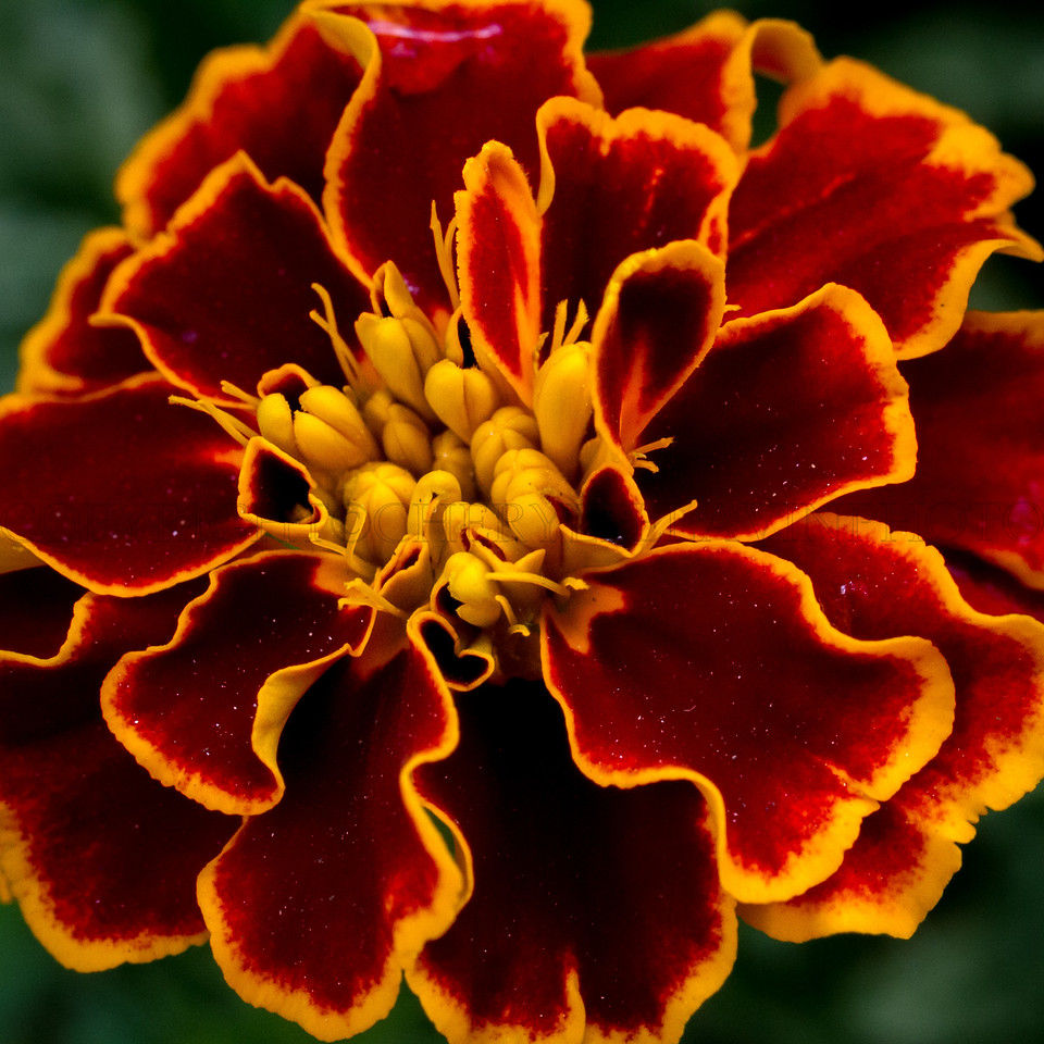 Marigold Jewels