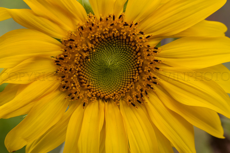 Still Sunflower close-up