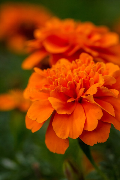 Early Fall Orange Marigolds