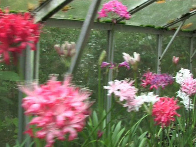 Nerines with John Gallagher  Watch nerine expert John Gallagher talk about his collection of nerine hybrids in dorset, UK, and learn a few tips and tricks on how to grow these beautifull autumn flowering bulbs  Film Length : 10 minutes  to get the film full screen, press the button STRETCH : ON. However, this will crop part of the image..