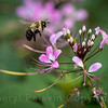 Bumble Bee and Spider Flower