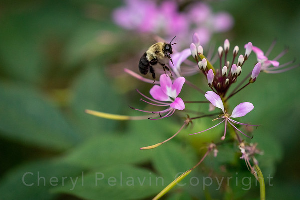 Bumble Bee Searching for Pollen