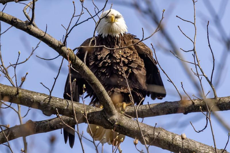 Fluffy Bald Eagle