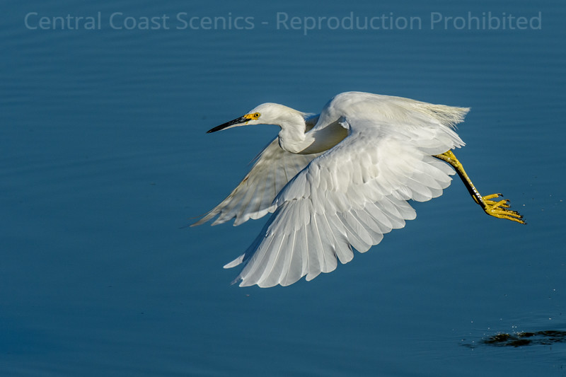 Snowy Egret in Flight 1