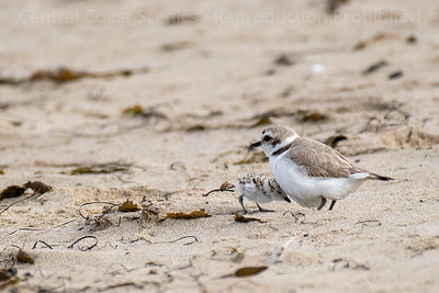 Western Snowy Plover Chick, Sheltering 2