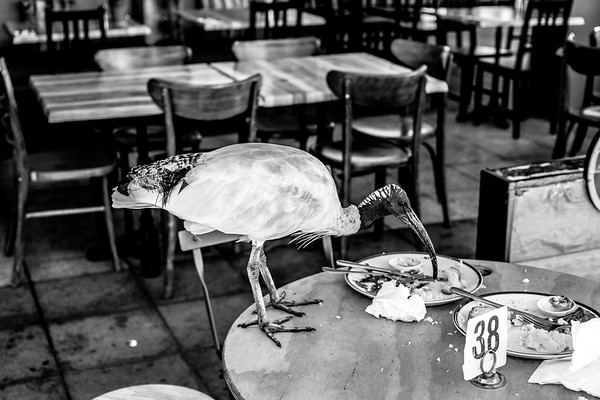 The lunch time Ibis