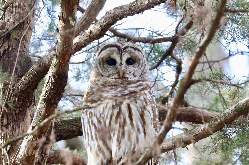 First Owl