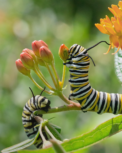 Beautiful Larvae of the Monarch