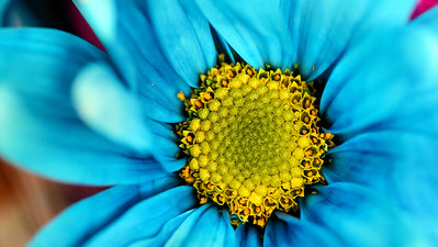 blue daisy close up IMG_9892-001