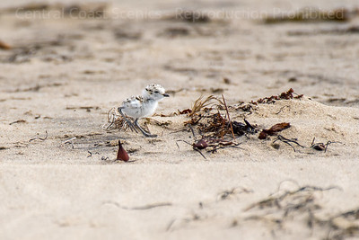 Western Snowy Plover Chick 4