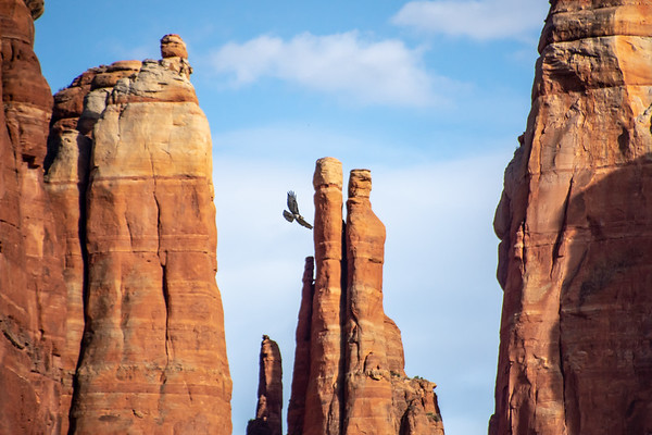 Bald Eagle Over Cathedral Rock