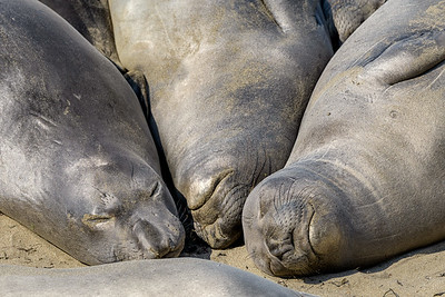 Three Resting Elephant Seals