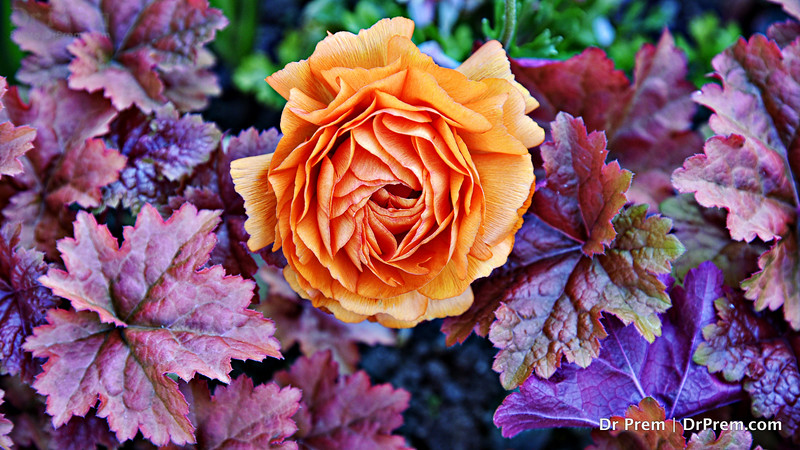Blooming In Orange At Montreaux Amid Layers Aplenty