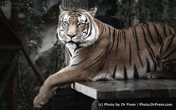 Tiger Tiger Mighty Tired, Resting On A Rock So High