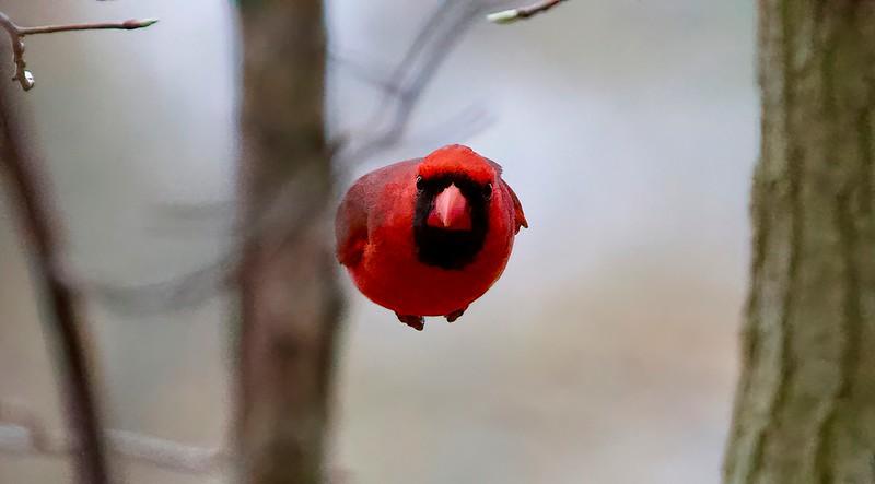 Cardinal Bomb