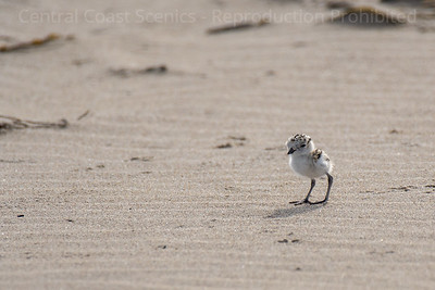 Western Snowy Plover Chick 9