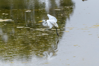 Great Egret and Reflection, Landing