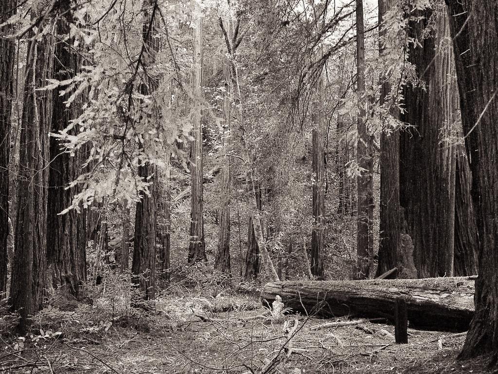 Sequoia Trees - Muir Woods, CA