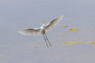 Snowy Egret, Landing
