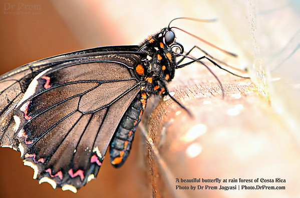 A butterfly at Costa Rica by Dr Prem