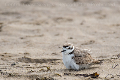 Western Snowy Plover Chick, Sheltering 4