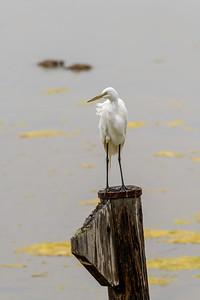 Great Egret, Standing Watch