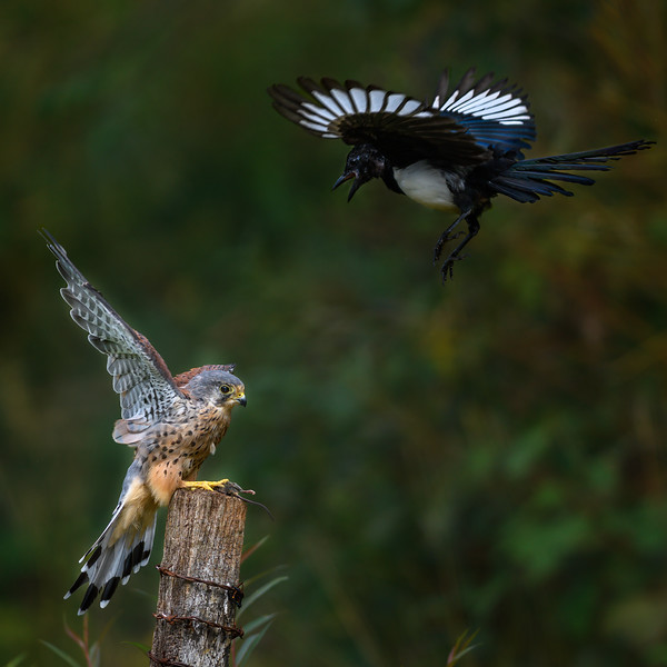 Kestrel and Magpie