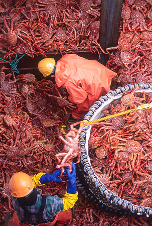 Dock workers offloading Golden king crab to a processing plant