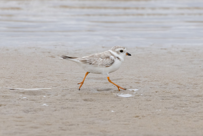 Plover March