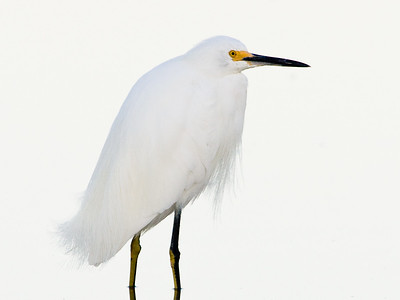 Cattle Egret - Ding Darling Wildlife Refuge, FL