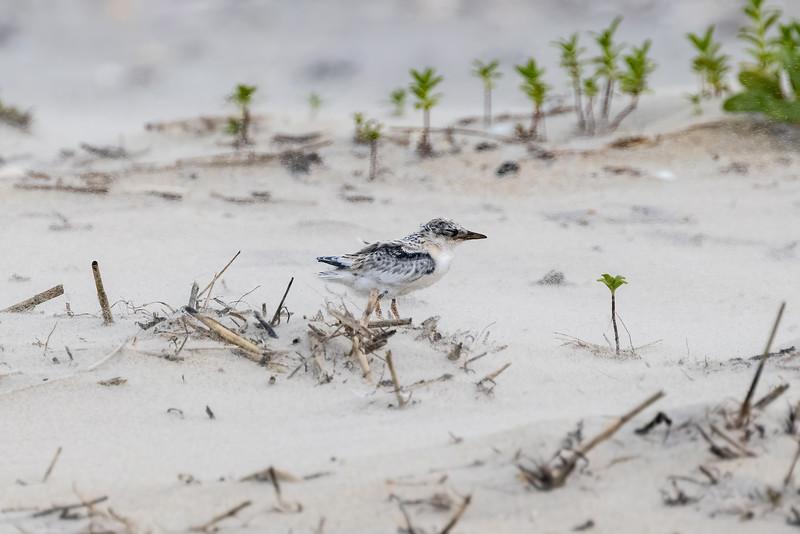 Sandy Tern Chick