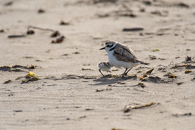 Western Snowy Plover Chick, Sheltering 5