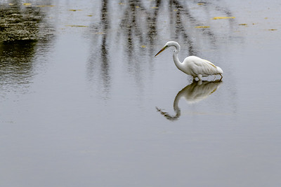 Great Egret and Reflections 2