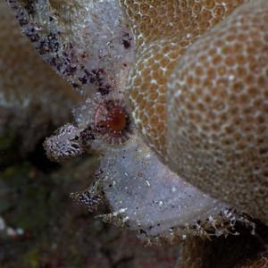 Leaf scorpionfish (Taenianotus triacanthus)