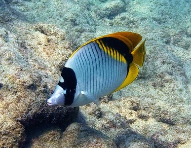 A Lined butterflyfish (Chaetodon lineolatus) keeping an eye on me...one of our largest and most beautiful butterflies. This is the only one I've ever encountered.