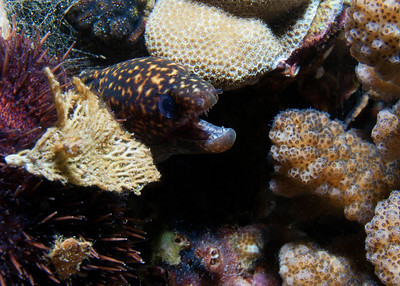 A very tiny but very brave Stout moray (Gymnothorax eurostus), defending his 4 square inches of reef...