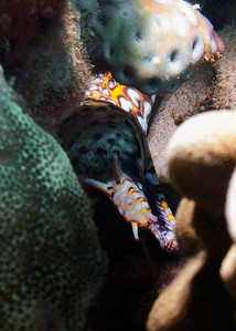 The absolute prize of the dives today, this is the result of my very first encounter with a Dragon moray (Enchelycore paradalis).  As you can see, this amazing eel was well tucked into the reef, it was all I could do to get a photograph...and I must tell you, neither this photo nor the ones you'll see in books do justice to this incredibly beautiful animal. See one in person if ever you can, they're astonishing.