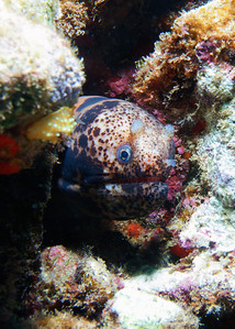 Although this strongly resembles a Tiger moray (Scuticaria tigrina), it's actually something even less-frequently seen...this is a Large-spotted snake moray (Uropterygius polyspilus), which can be differentiated from S. tigrina by the large, bulbous nares present just above the eyes.  First-time sighting for me...and thanks to my student Kerry Lyons for spotting this one! (A side note--I was so excited to see this eel, I didn't even notice the Goldlace nudibranch visible in this shot top-left center!)