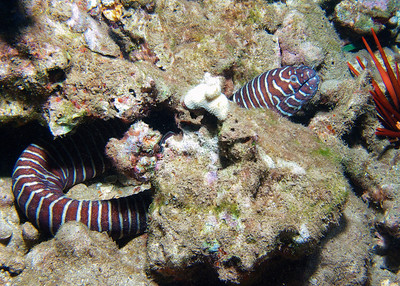 Yet another gorgeous member of family Muraenidae, here's a large, healthy Zebra moray (Gymnomuraena zebra), coiled and looped around a hole in the reef.