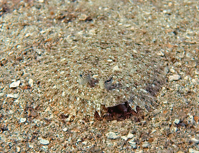 This is how not to be seen. Hard to tell with flatfishes, but I believe this is a panther flounder (Bothus pantherinus).