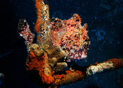 Another beautiful Commerson's frogfish (Antennarius commersoni) on the Carthaginian...if you look closely in the upper right, you'll see this individual is actively hunting, the wispy lure waving back and forth to attract prey...