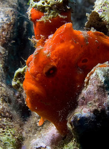 Juvenile frogfish does Marlon Brando impression...and check the color match on the sponge just behind him.