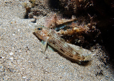 A rather large--relatively speaking--Cloudy goby (Opua nephodes)...I snapped this photo just before this very shy animal bolted back under cover...