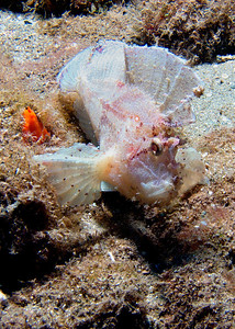 A rather disgruntled-looking Leaf scorpionfish (Taenianotus triacanthus)