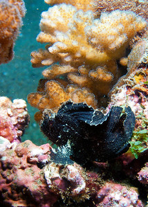 A very very small (less than 2 cm) and atypically black juvenile Leaf scorpionfish (Taenianotus triacanthus)