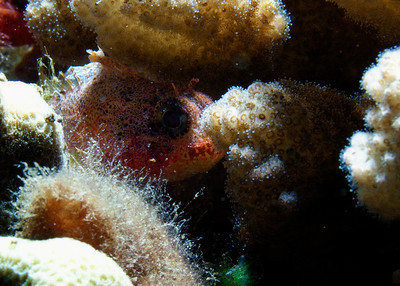 Dwarf scorpionfish (Sebastapistes fowleri) peering out from its usual habitat inside a coral head...